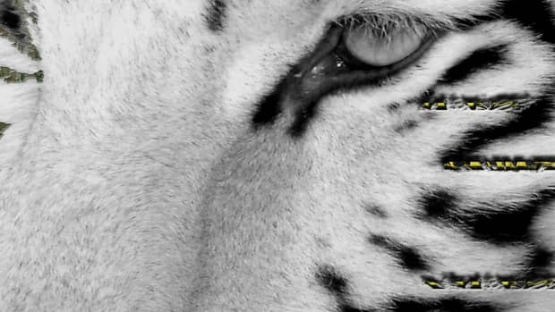 zoos-which-big-cats-eat-humans-lethal-big-cats