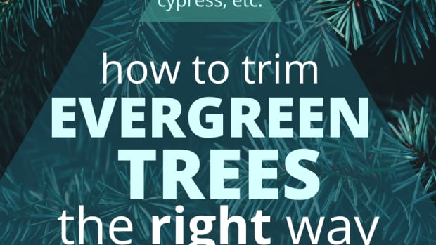 why-not-to-limb-up-evergreen-trees