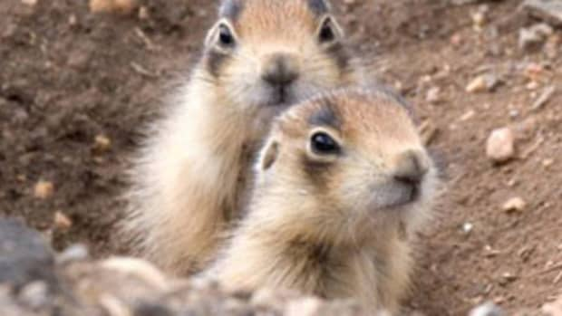 facts-about-the-utah-prairie-dog