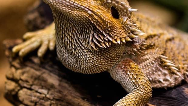 bearded-dragon-behaviour