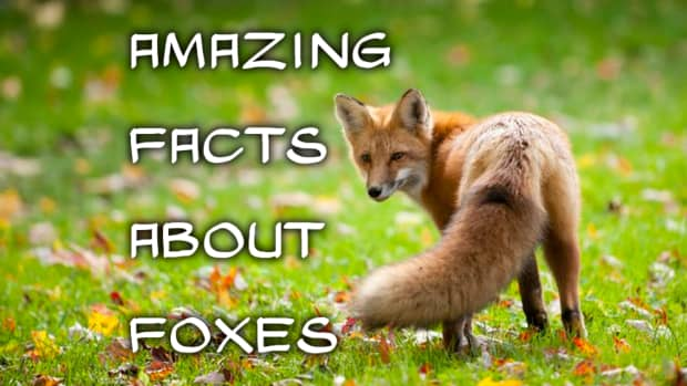 10-amazing-facts-about-foxes