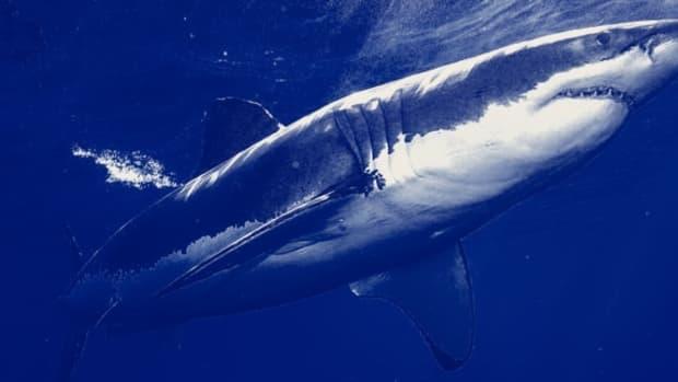 great-white-sharks-in-the-mediterranean