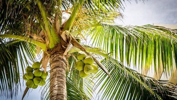 the-coconut-tree-the-tree-of-life