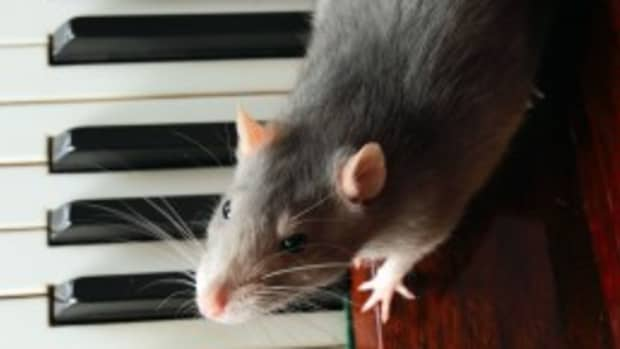 help-my-pet-rat-is-bored-the-best-toys-to-make-or-buy-for-your-pet-rat