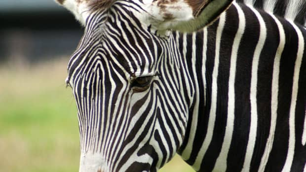 facts-about-zebras-for-kids