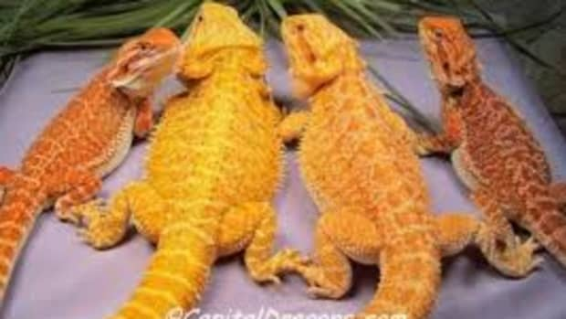 bearded-dragons-as-pets
