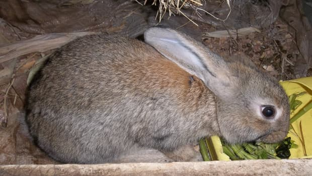 rabbits-keeping-them-healthy-on-pellets-and-other-foods
