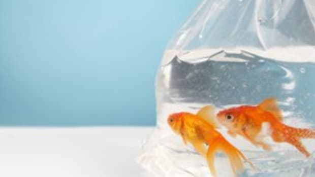 successfully-acclimating-your-fish