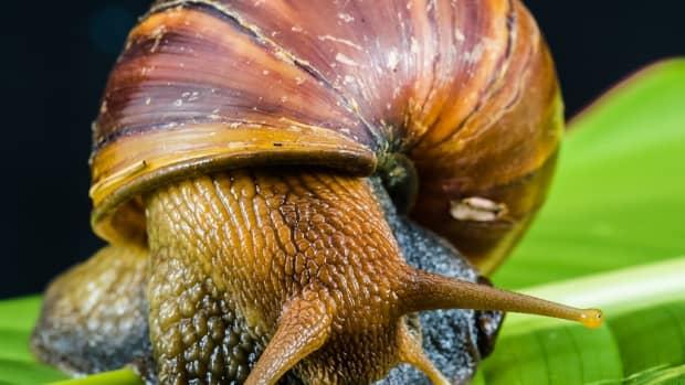 how-do-snails-mate