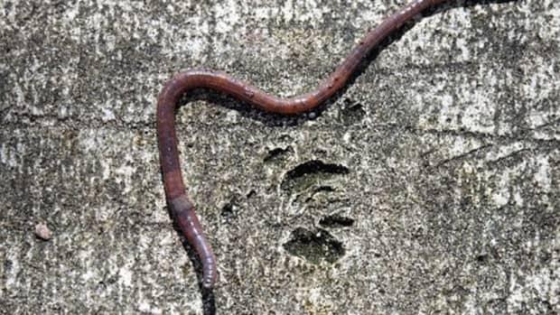 raising-earthworms-as-livestock