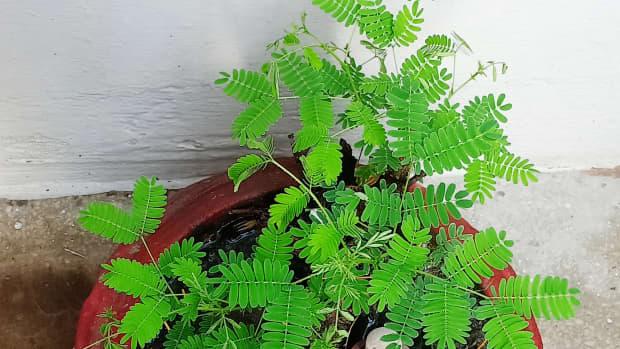 benefits-of-the-shami-tree-prosopis-cineraria-myth-or-reality