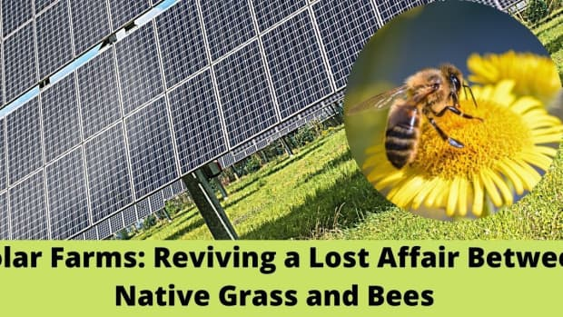 solar-farms-reviving-lost-affair-between-native-grass-and-bees