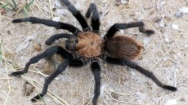 poisonous-venomous-spiders-snakes-other-insects-in-papua-new-guinea-fiji