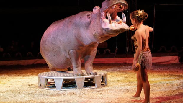 circus-hippos