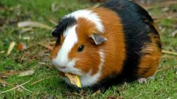 fun-interesting-facts-about-guinea-pigs