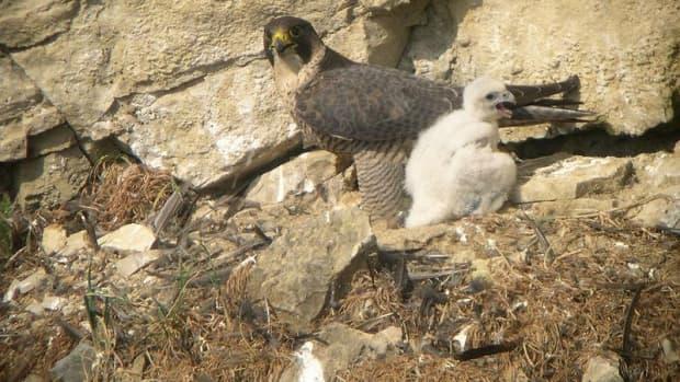 birds-of-prey-the-peregrine-falcon