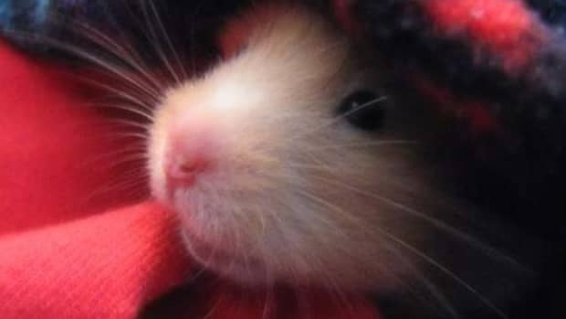 how-to-care-for-a-sick-hamster