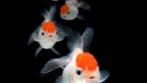 best-fish-feeder-for-goldfish-and-other-aquarium-fish