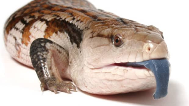 why-blue-tongue-skinks-make-the-best-pet-reptile