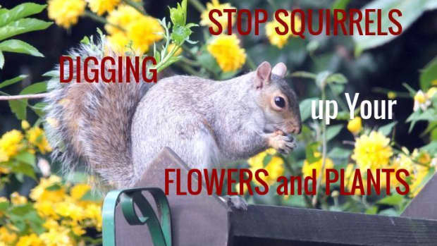 how-to-stop-squirrels-digging-up-your-flowers-and-plants