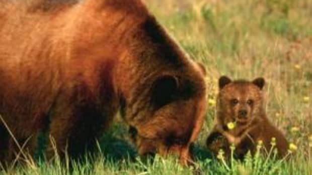 the-grizzly-bear-or-silvertip-bear