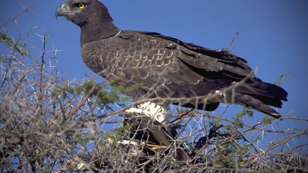 birds-of-prey-the-martial-eagle