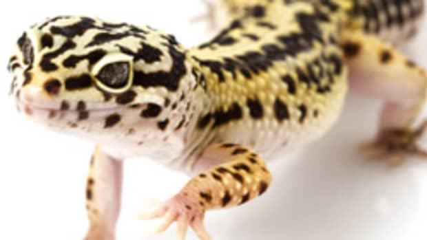 leopard-gecko-care-sheet-helpful-information