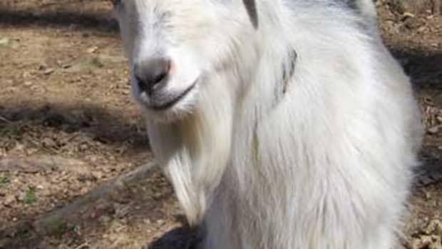 goat-breeds