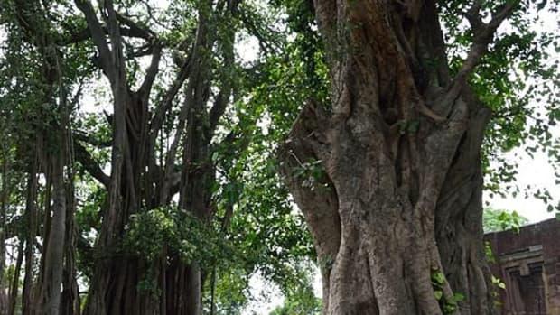 banyan-trees