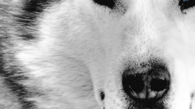 the-wolf-and-its-symbolic-meaning