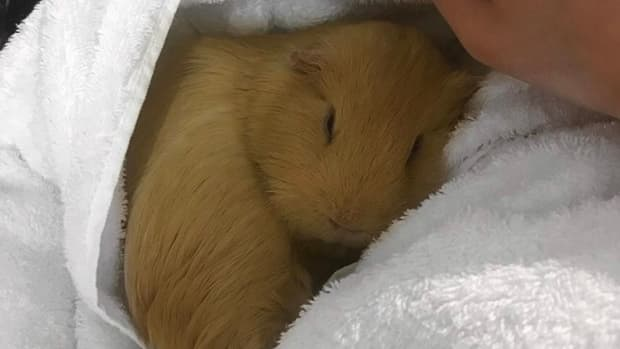 how-to-get-your-guinea-pig-to-like-you