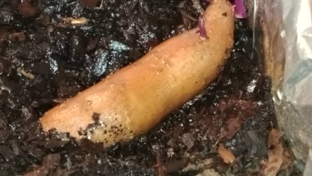 how-to-grow-your-own-sweetpotatoes-at-home