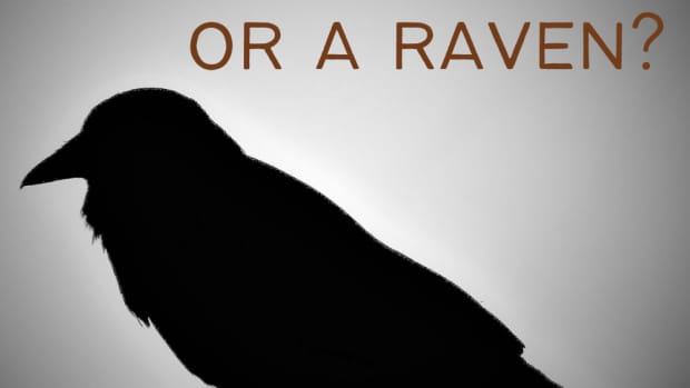 ravens-vs-crows-they-are-not-the-same