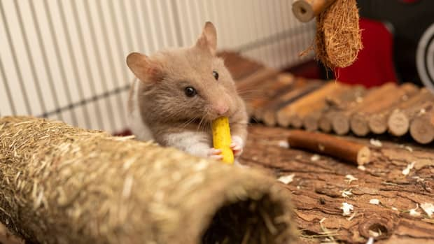 what-not-to-feed-your-rat
