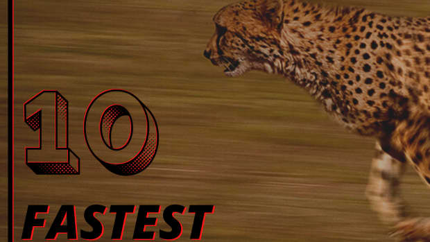 top-10-fastest-land-animals-in-the-world