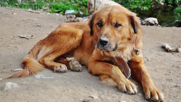 everything-you-need-to-know-about-arthritis-in-dogs