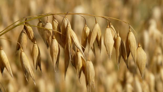 oats-oatmeal-and-porridge-plant-facts-and-culture