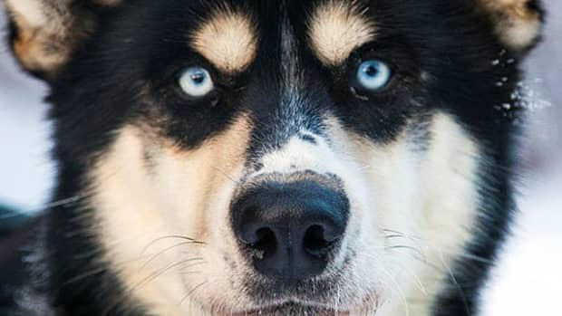 the-amazing-sled-dogs