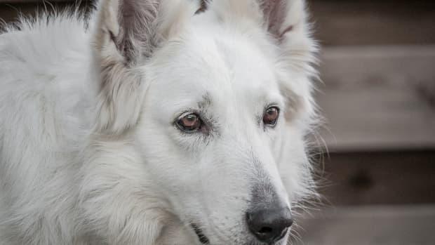 white-german-shepherds
