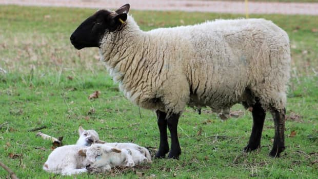 15-best-sheep-breeds-for-meat