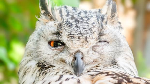 morning-owl