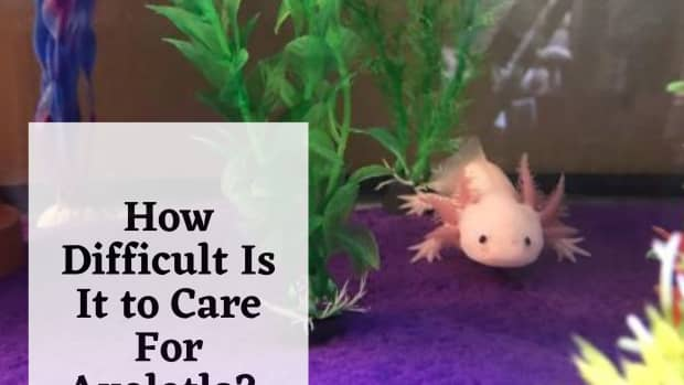 how-difficult-is-it-to-care-for-axolotls