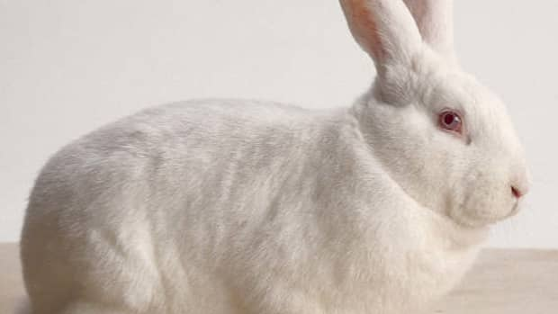 bunny-breed-guide-new-zealand-white-rabbit