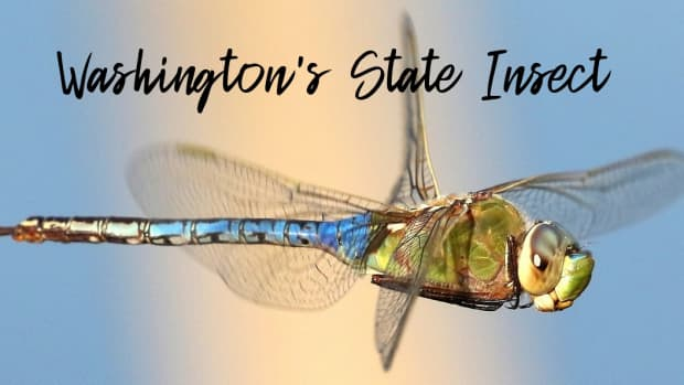 state-insect-of-washington