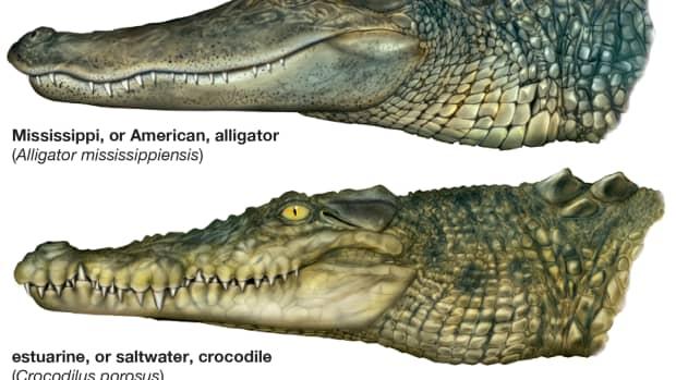 alligators-around-the-world