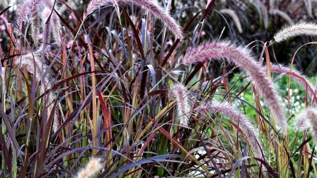 how-to-grow-purple-fountain-grass-an-ornamental-grass