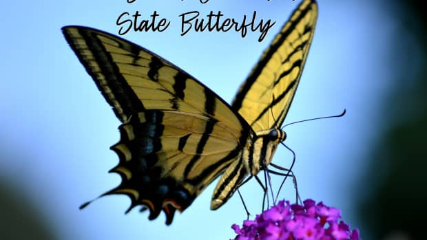 the-state-butterfly-of-south-carolina-the-tiger-swallowtail