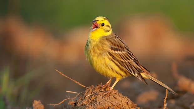 the-worldwide-decline-of-our-wild-birds