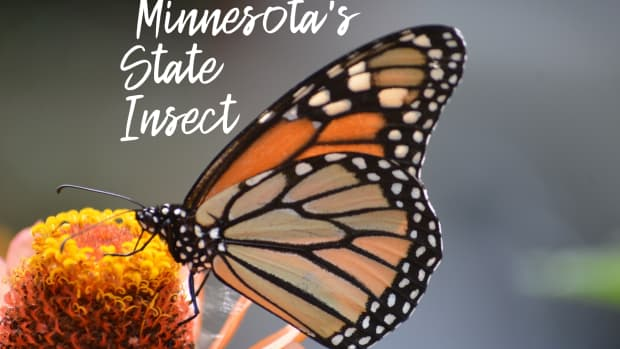state-insect-of-minnesota