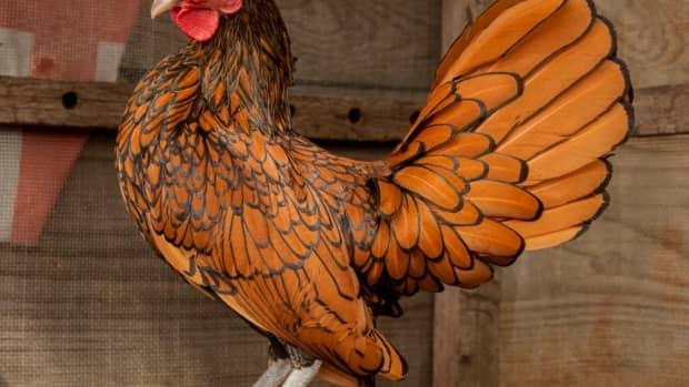 top-10-prettiest-chicken-breeds